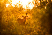 Waterbuck at Sunrise, Kruger National Park, South Africa